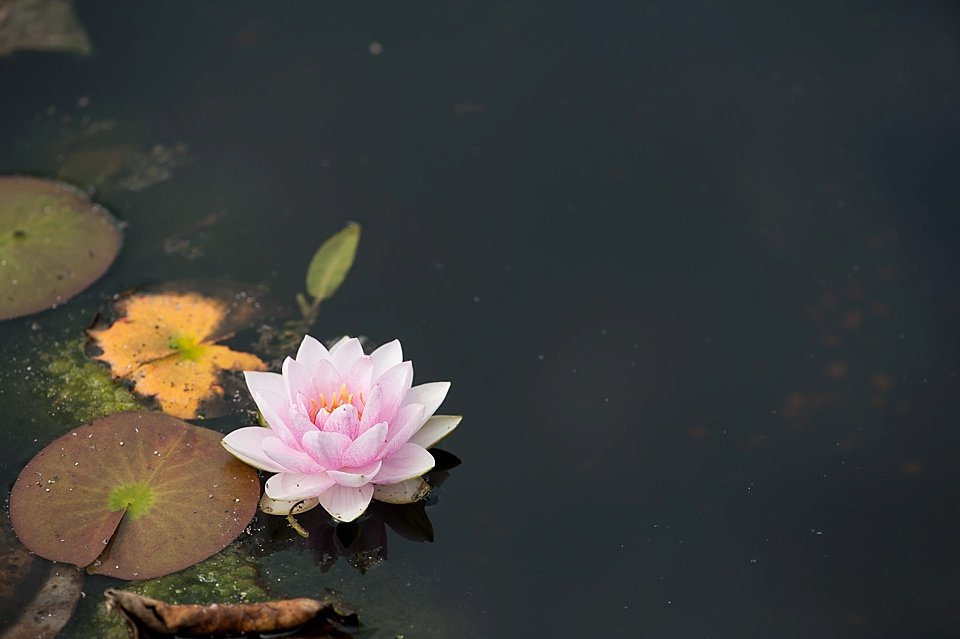 A pond with lotus flower at an English country garden wedding at the Walled Garden at Cowdray - Sussex wedding photographer © Fiona Kelly photography