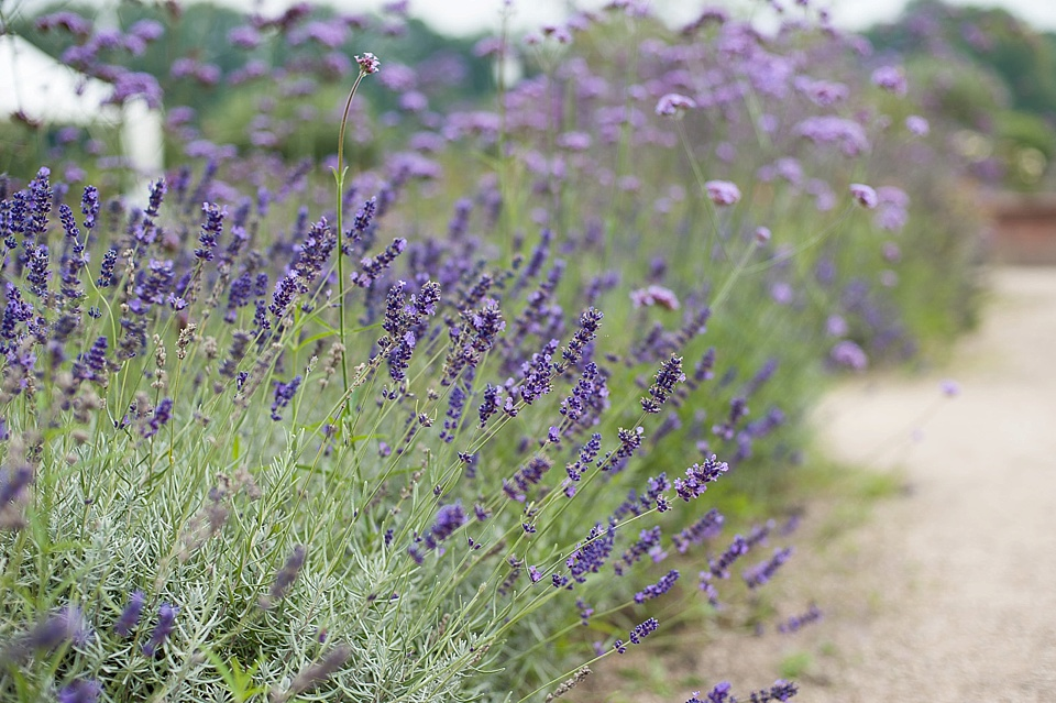 Lavender bush at an English country garden wedding at the Walled Garden at Cowdray - Sussex wedding photographer © Fiona Kelly photography