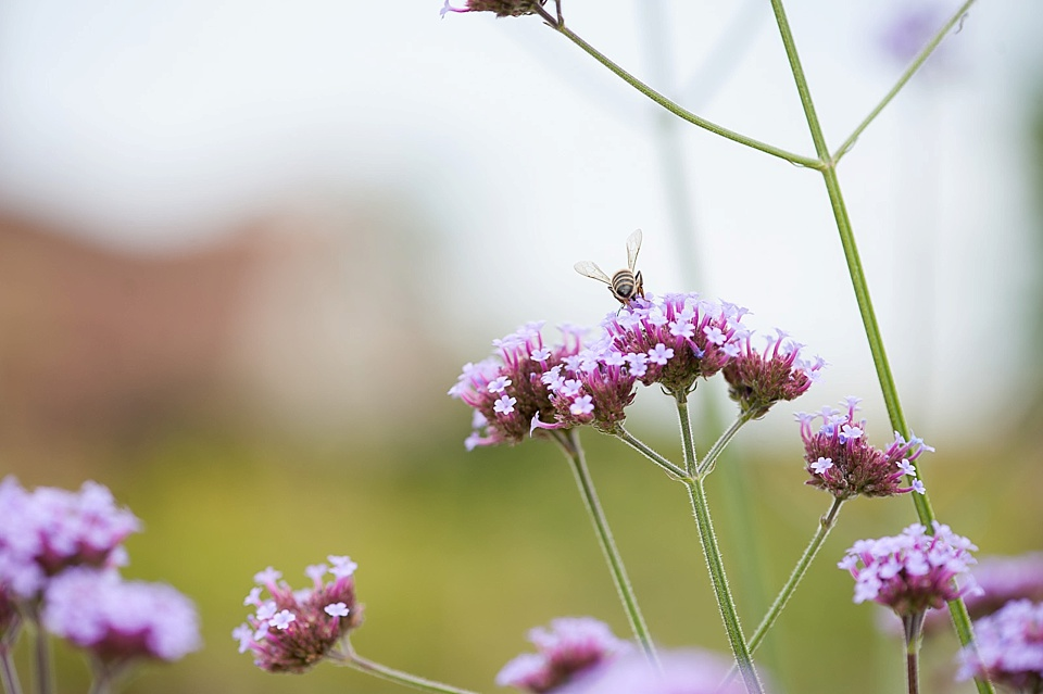 Honey bee pollinating pink flower at an English country garden wedding at the Walled Garden at Cowdray Sussex - nature photographer © Fiona Kelly photography