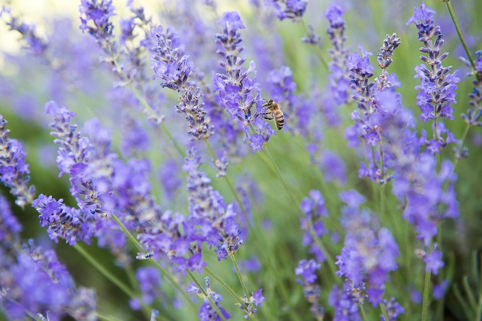 Lavender and honey bee Busbridge Lake wedding venue Surrey
